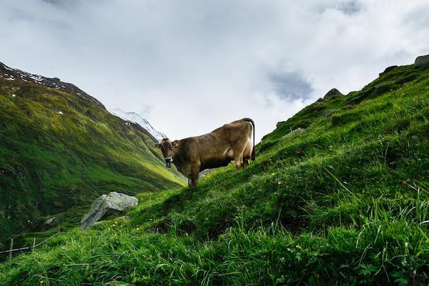 Vache alpine au pâturage dans les alpes suisses Photo gratuit