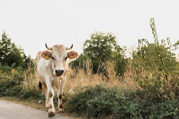 Vache blanche en cours d'exécution sur la route de campagne Photo gratuit