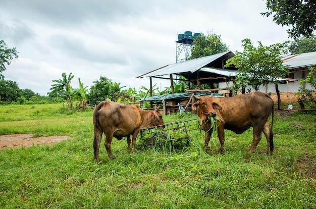 Vache brune mangeant de l'herbe Photo gratuit
