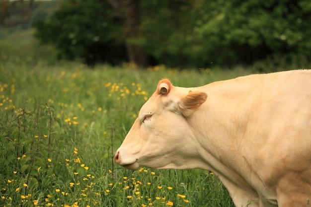 Vache dans un pré Photo Premium