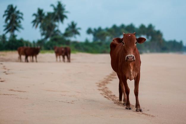 Vache indienne sur la plage. Photo gratuit