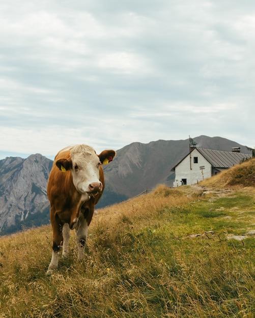 Vache Paissant Dans Un Champ Entouré De Montagnes Sous Un Ciel Nuageux En Autriche Photo gratuit
