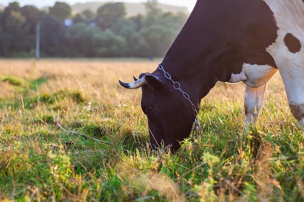 Vache paissant dans un champ vert Photo Premium
