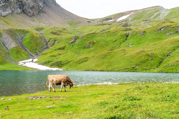 Vache en suisse alpes montagne grindelwald first Photo Premium