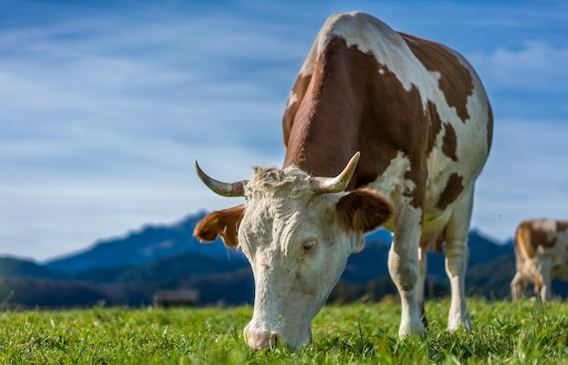 Des vaches en bonne santé Photo Premium