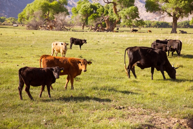 Vaches bovins paissant dans les prés de californie Photo Premium