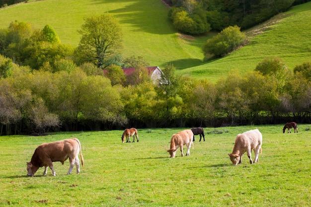 Vaches broutant dans les prés d'automne vertes des pyrénées en espagne Photo Premium