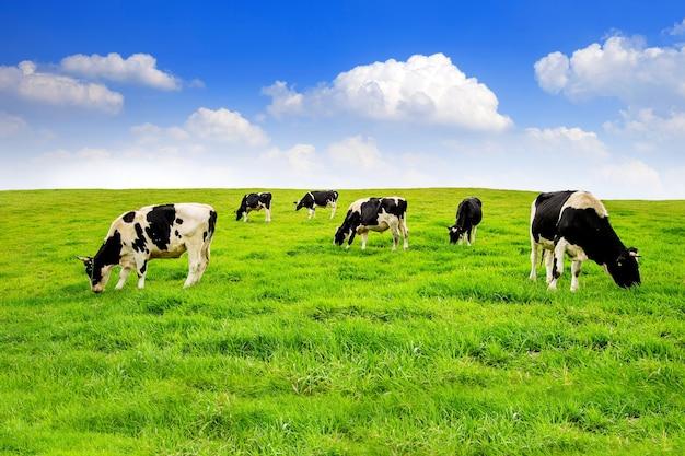 Vaches Sur Un Champ Vert Photo gratuit