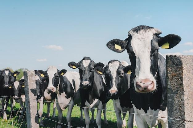 Vaches Contre Le Ciel Et L'herbe Verte Photo Premium