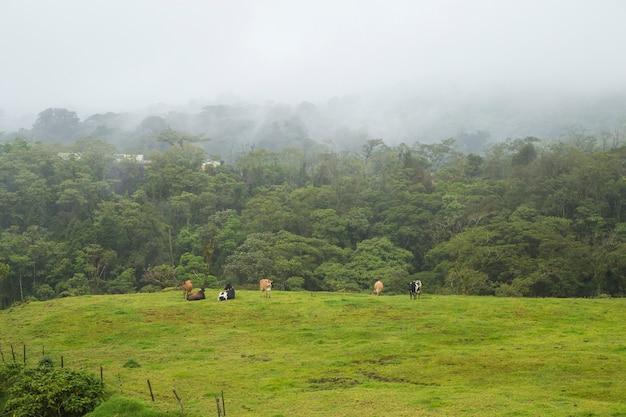 Des vaches laitières broutant et se reposant sur de l'herbe verte au costa rica Photo gratuit