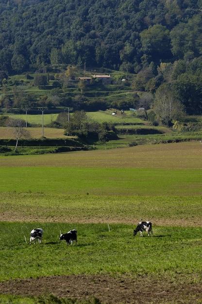 Les Vaches Photo Premium