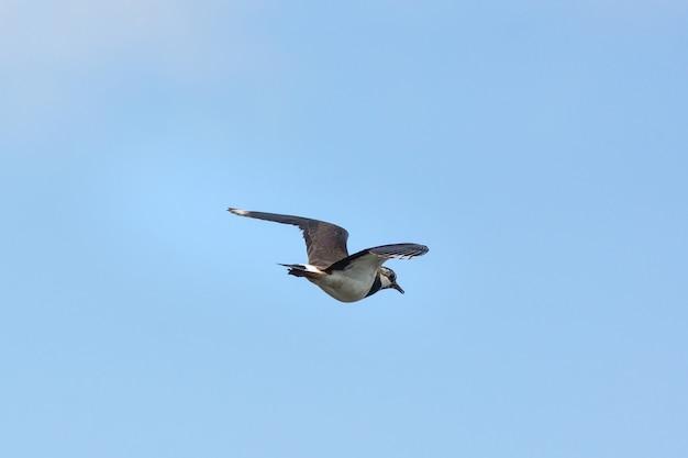 Vanellus dans le ciel Photo Premium