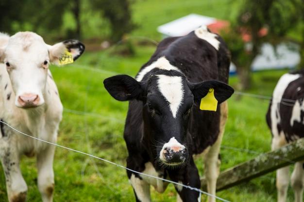 Veau et jeunes vaches laitières dans un pâturage vert au costa rica tropical Photo gratuit