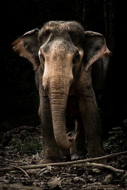 Veau mignon bébé éléphant d'asie dans cette image de portrait à kanchanaburi, thaïlande Photo Premium