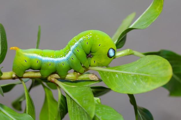 Ver Vert Sur Le Bâton Arbre Dans La Nature Photo Premium