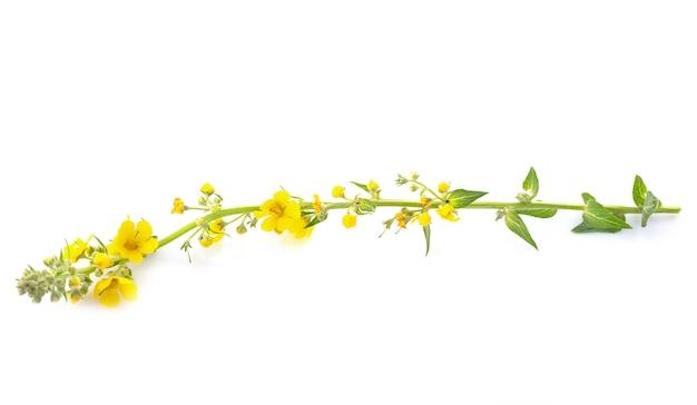 Verbascum thapsus en studio Photo Premium