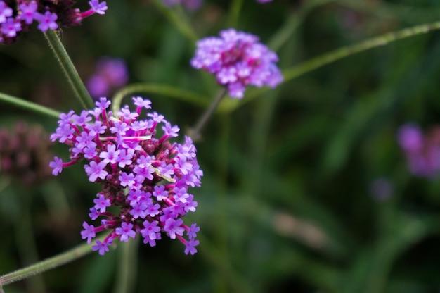 Verbena Bush, Verbena Hybrida Flower Sur Fond Flou. Photo Premium