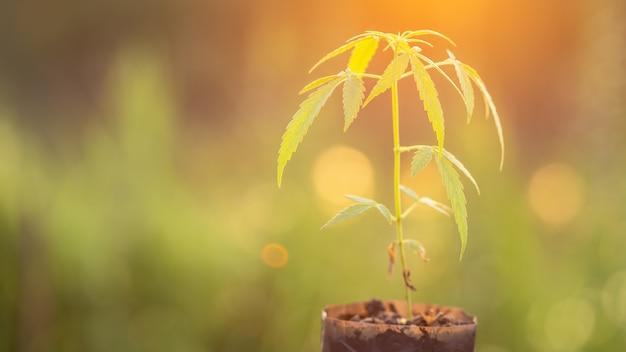 Vert frais de l'arbre de la marijuana dans un sac de jardin avec la lumière du soleil du matin Photo Premium