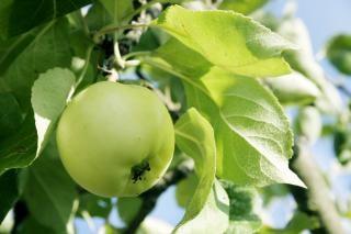 Vert pomme, en bonne santé Photo gratuit