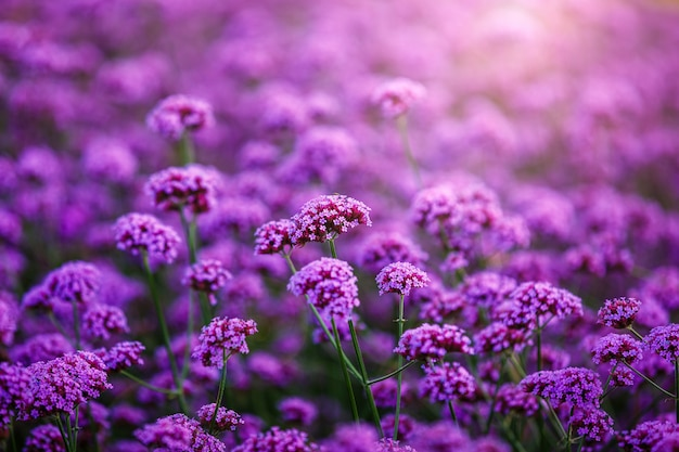 Verveine bonariensis, fleurs, champ Photo Premium