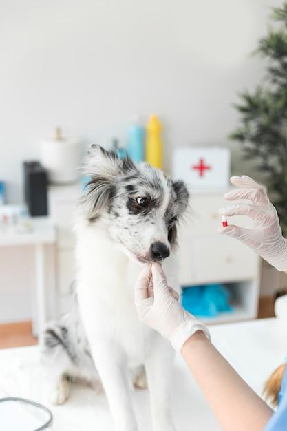 Vétérinaire donnant une capsule à un chien en clinique Photo gratuit