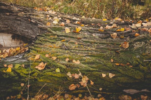Le vieil arbre tombé est recouvert de mousse et de feuilles jaunes. Photo Premium