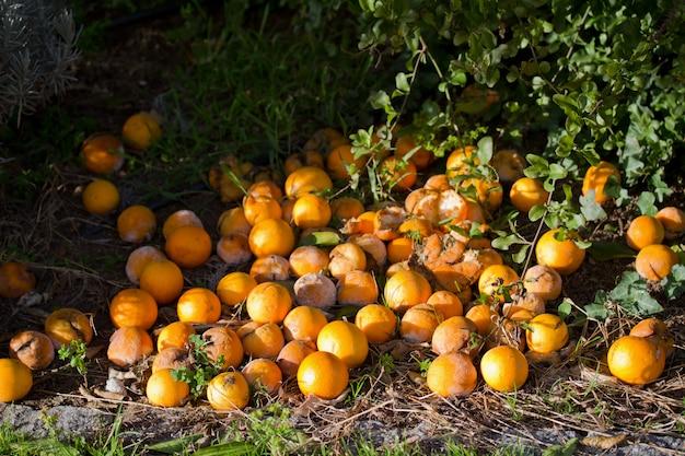 Vieilles oranges Photo Premium