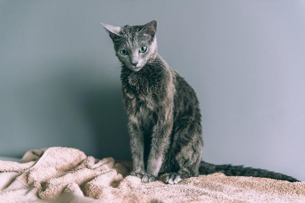 Vient de se laver drole chaton mignon humide velu apres le bain assis lui-meme sur fond gris Photo Premium