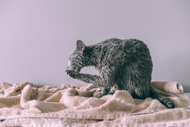 Vient de se laver drole chaton mignon humide velu apres le bain se lechant sur fond gris Photo Premium