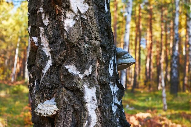 Vieux bouleau mort dans la forêt avec un champignon en expansion. Photo Premium
