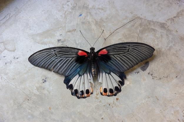 Vieux papilio machaon papillon ou papillon machaon sur fond de ciment gris Photo Premium