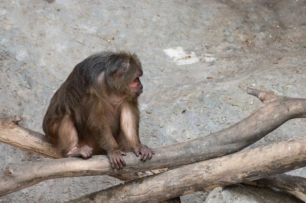 Vieux singe assis sur le bois Photo Premium