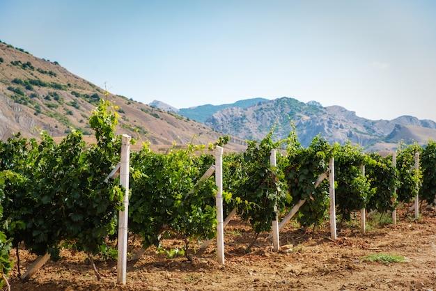 Vignoble D'été à La Campagne Photo Premium