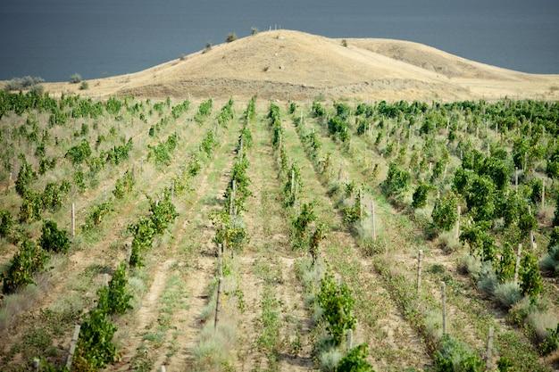 Vignobles En Crimée Photo Premium
