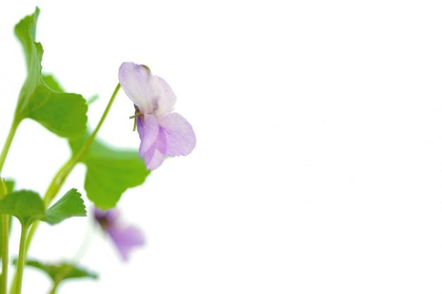 Violettes Photo Premium