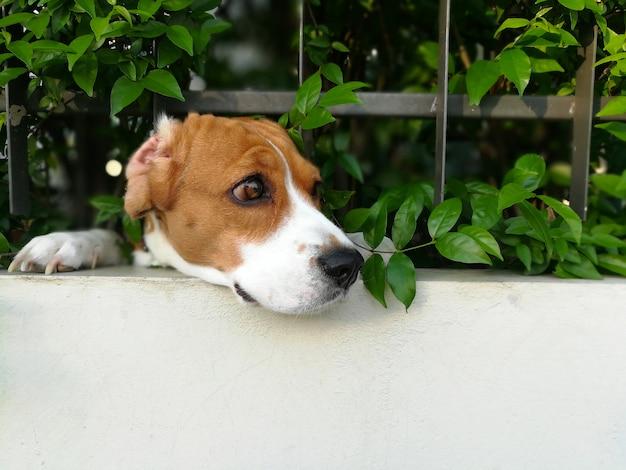 Le visage du chien beagle passe à travers la clôture de la maison coulissante sous l'action du gardien de la maison. Photo Premium