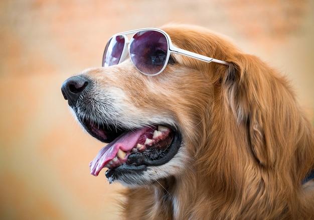 Le visage de golden dog portant des lunettes. Photo Premium
