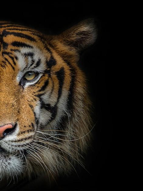 Le Visage D'un Tigre Mâle Sur Fond Noir. Photo Premium