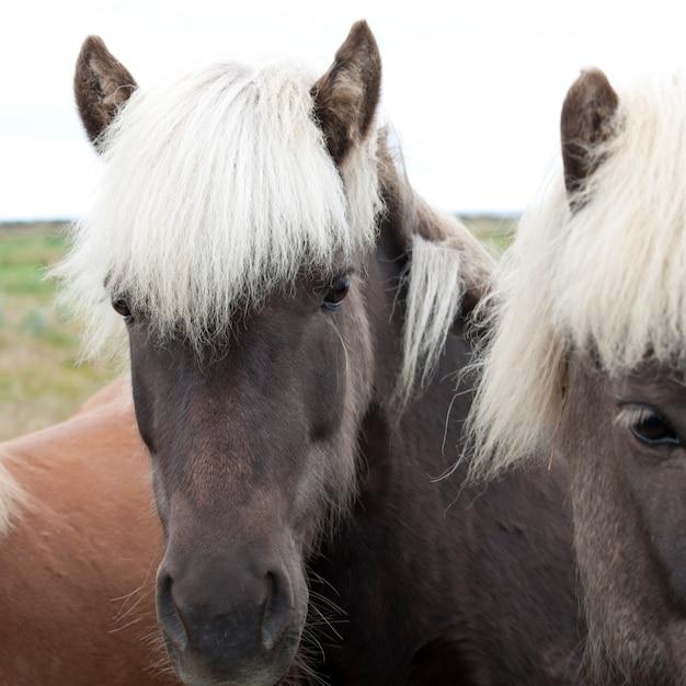 Visages de chevaux islandais en pâturage Photo Premium