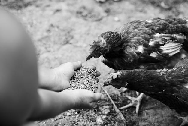 Vue aérienne, de, poules, alimentation, grain, mains Photo gratuit