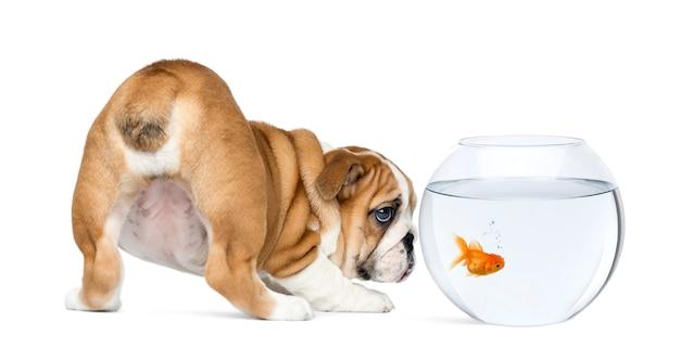 Vue Arrière D'un Chiot Bulldog Anglais Photo Premium
