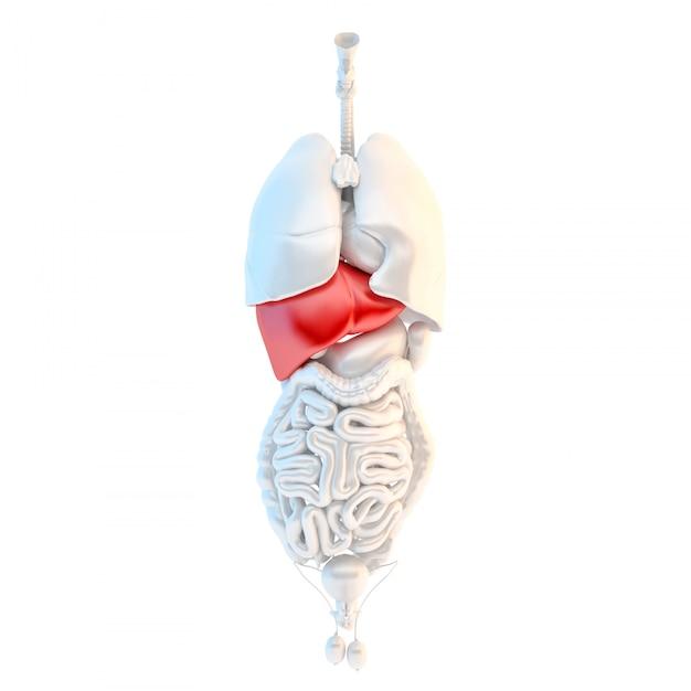 Vue complète des organes internes mâles humains avec foie riche Photo Premium