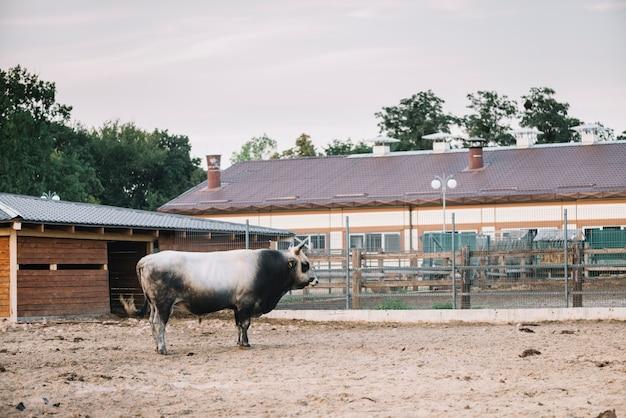 Vue de côté d'un taureau debout dans la grange Photo gratuit