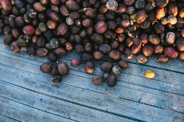 Vue de dessus de baies de café arabica séchées au soleil sur un filet bleu avec espace de copie. Photo Premium