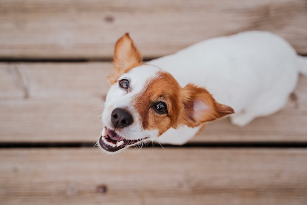 Vue De Dessus Du Mignon Petit Chien Jack Russell Terrier Se Trouvant Sur Un Pont En Bois à L'extérieur Et Et Style De Vie Photo Premium