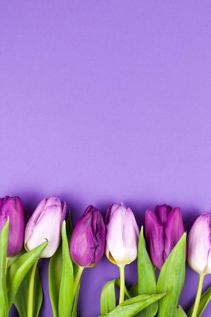 Vue de dessus de la fleur de tulipe printanière sur fond violet Photo gratuit