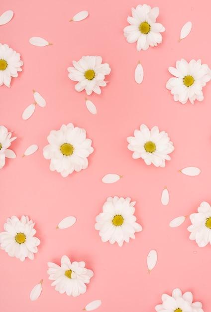 Vue De Dessus Des Fleurs Et Des Pétales De Marguerite Blanche Photo gratuit