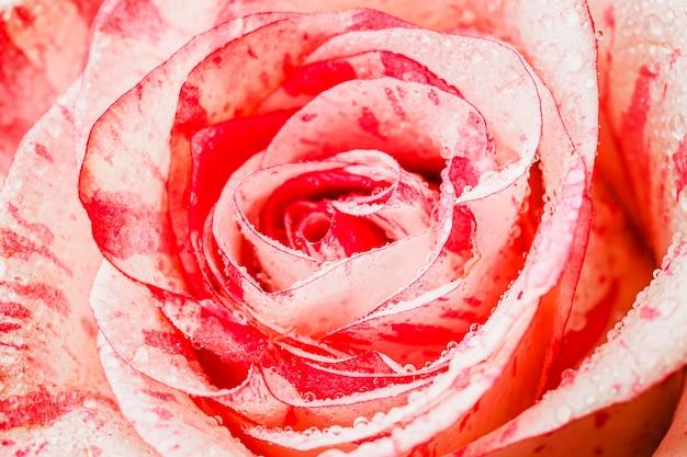 Vue De Dessus Rose Close-up Wallpaper Photo gratuit