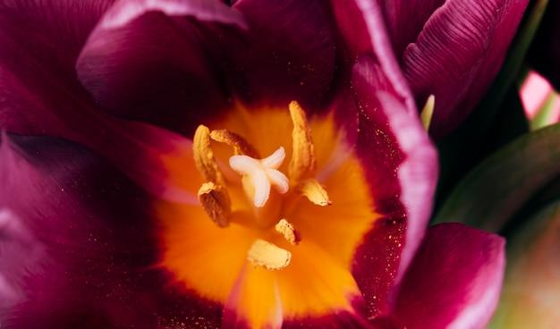 Vue détaillée des tulipes étamine et pollen Photo gratuit
