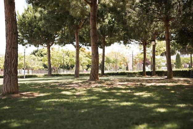 Vue du parc urbain de pins Photo gratuit